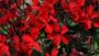 geranium-interspecific-caliente-fire