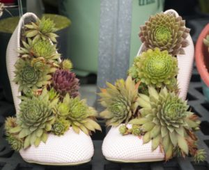 hen-and-chick-succulents-in-heels-at-graf-growers