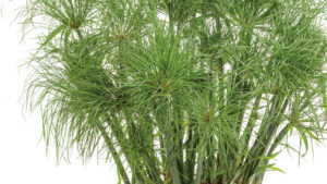Growing Tips For 'Prince Tut' Cyperus Grass