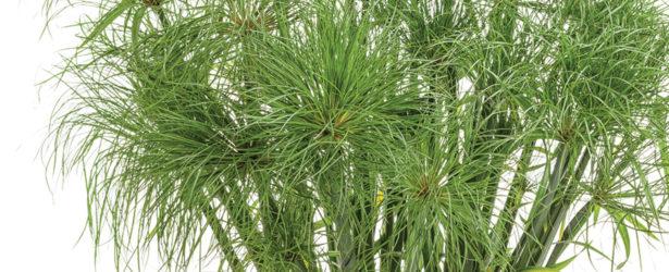 prince-tut-cyperus-grass-feature
