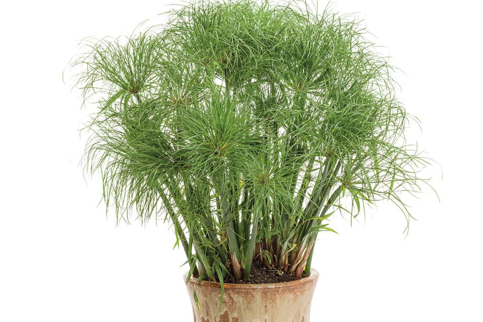 prince-tut-cyperus-grass
