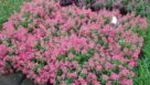 Catharanthus 'Soiree Kawaii Coral'