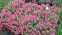 Catharanthus 'Soiree Kawaii Coral'