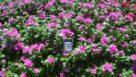 Vinca 'Valiant Lilac'