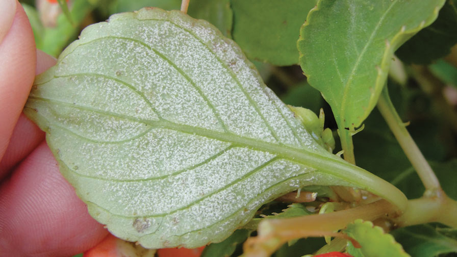 downy-mildew-impatiens-feature greenhouse pest control
