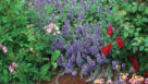 nepeta-purple-wave-with-roses