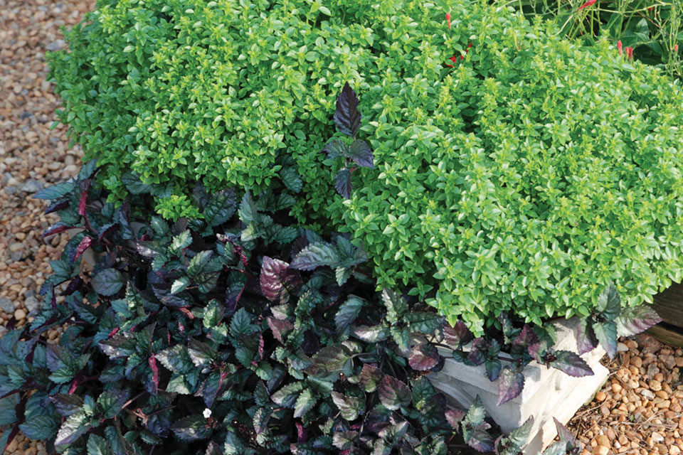 ocimum-boxwood-and-hemigraphis-moonlight-improved