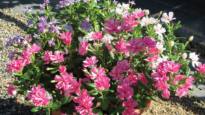 Sea Breeze Catharanthus combo