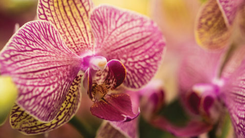 Westerlay Orchids Expands California Production