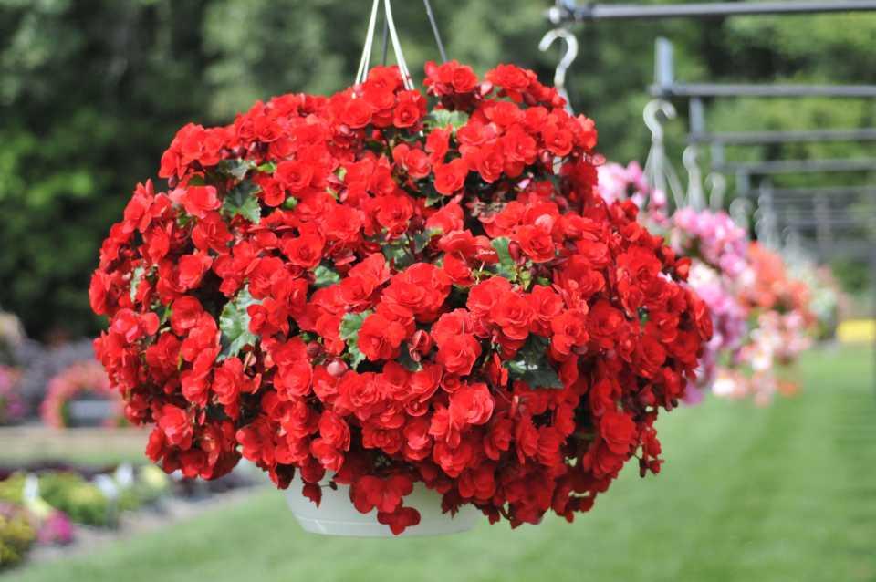 Begonia 'Vermillion Red'