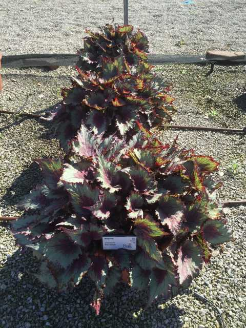Begonia Jurassic RedSplash