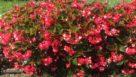 Begonia Whopper Experimental
