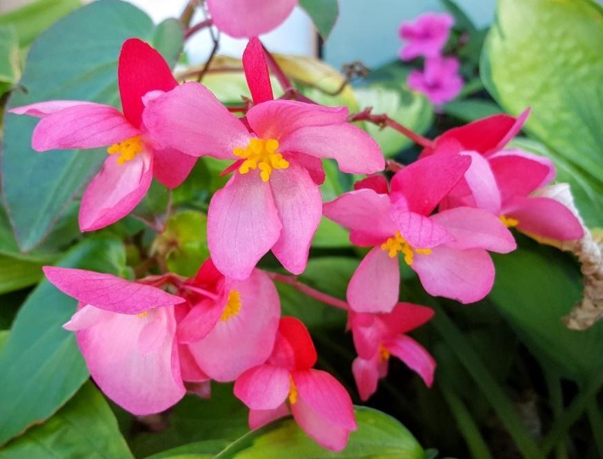 Begonia benariensis Experimental