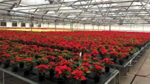 Why Botany Lane Grows Poinsettias On Capillary Mats