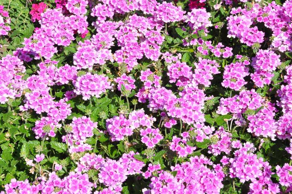 Verbena 'EnduraScape Pink Bicolor'