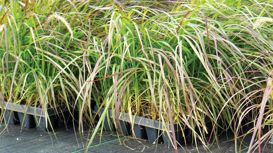 Bulking And Height Control Of Purple Fountain Grass With Plant