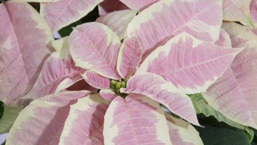 5 New Varieties Shaking Up the Poinsettia Tradition