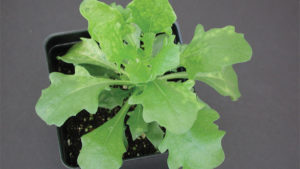 Tomato Spotted Wilt Virus on Osteospormum