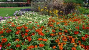 Zinnia 'Zahara XL Fire Improved'