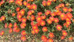 Portulaca 'ColorBlast Tangerine'