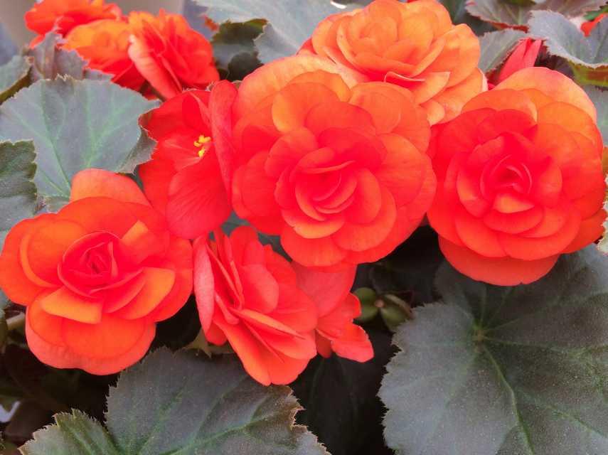 Begonia 'Rhine Oh So Orange'