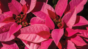 Poinsettia Survey Reveals Growers Increased Poinsettia Sales and Production in 2016