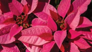 PlantPeddler Hosting Poinsettia Variety Day in December