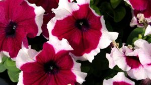 New Petunias and Calibrachoas for 2018 from California Spring Trials