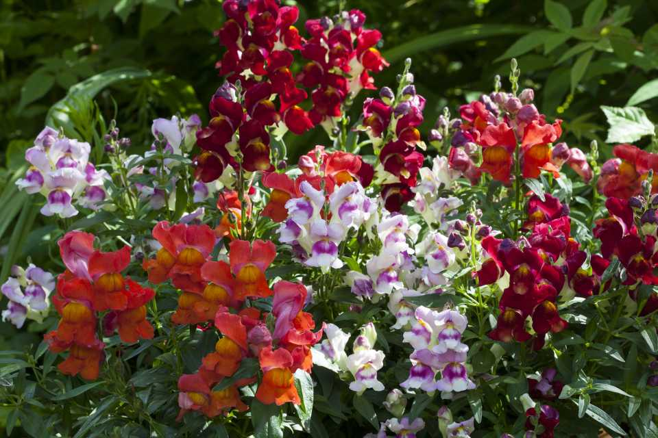 Antirrhinum Crackle and Pop Bicolour Mix (Floranova)