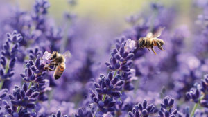 Bee on Lavender feature