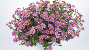 Bidens Pretty In Pink™  is Compact, Easy to Grow