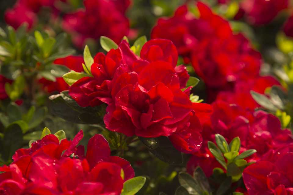 Encore Azalea (Sunset Western Garden Collection)