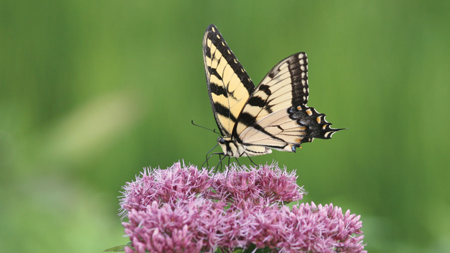 Butterfly on a Pollinator Plant Feature