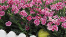 Dianthus Pink Kisses Selecta Feature