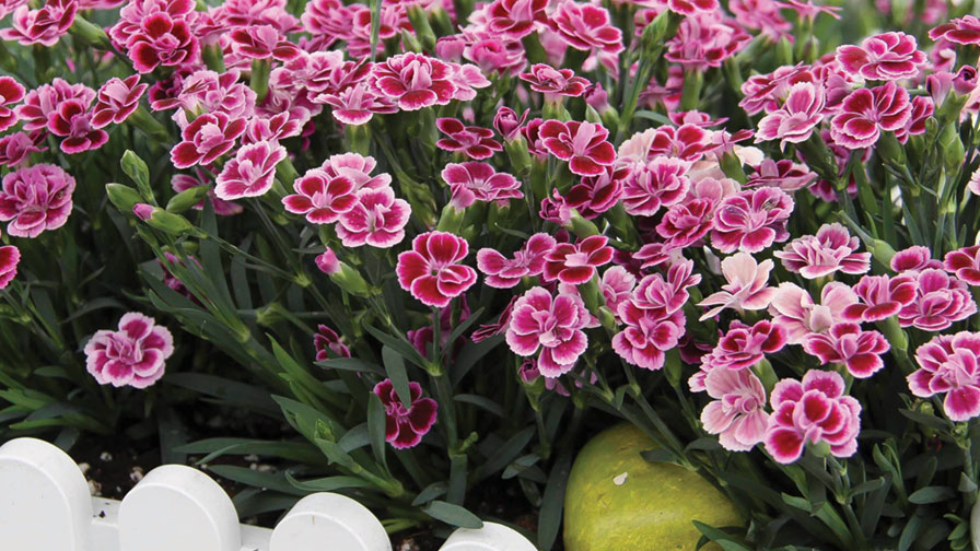 growing tips for selecta 39 s dianthus pink kisses greenhouse grower. Black Bedroom Furniture Sets. Home Design Ideas