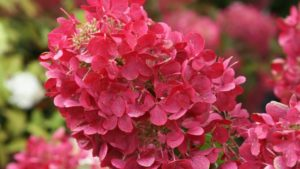 Hydrangea paniculata First Editions Diamond Rouge (Bailey Nurseries)