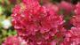 Hydrangea paniculata First Editions Diamond Rouge (Bailey Nurseries)