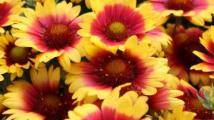 Spin Top Gaillardia Series (Dummen Orange)