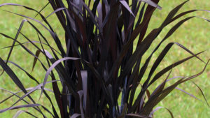 Pennisetum First Knight Feature