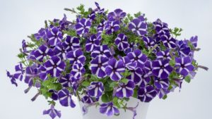 Petunia CASCADIAS™  Purple Gem Latest Addition to Award-Winning Series