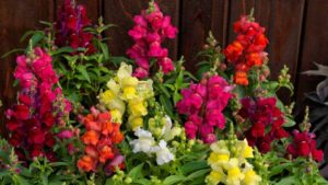 Candy Tops Snapdragons Series (Sakata Ornamentals)