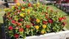 Zinnia Solmar Series (Floranova)