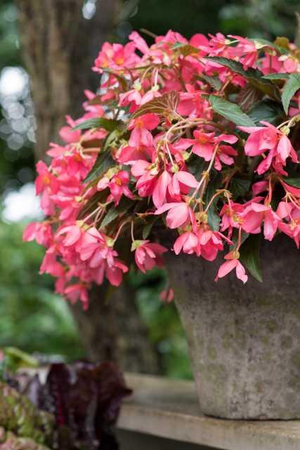 Begonia Be Adore Series (HilverdaKooij)