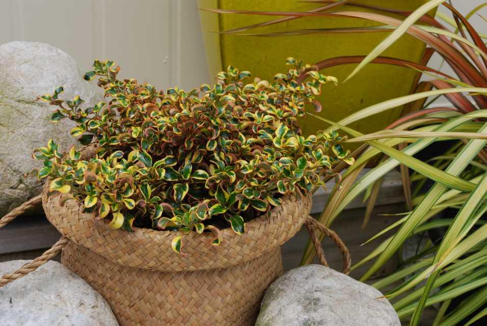 Coprosma repens Golden Star (KiwiFlora)