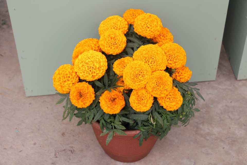 African Marigold Cheerleader Orange
