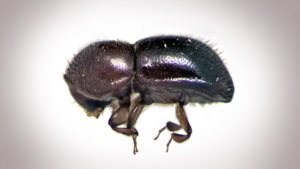 Tips On How to ID Ambrosia Beetle Damage, And How to Control it