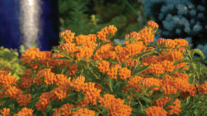 Greenhouse Growing Tips for Asclepias tuberosa