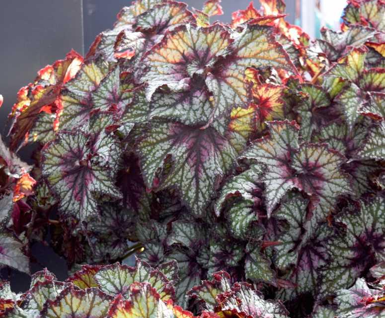 Begonia Dibs Series (Green Fuse Botanicals)