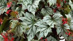 Begonia Spectre Silver Terra Nova Nurseries
