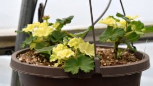 Monitor Potential for Heat Stress in Your Geraniums